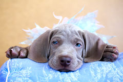 Cachorrinho do azul de Weimaraner Fotos de Stock Royalty Free