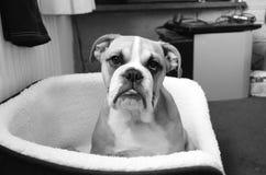 Cachorrinho do buldogue fotografia de stock royalty free