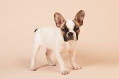 Cachorrinho do buldogue francês Fotografia de Stock