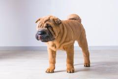 Cachorrinho do cão Imagem de Stock Royalty Free
