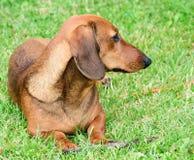 Cachorrinho do cão do bassê de Brown fotografia de stock royalty free
