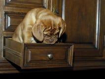 Cachorrinho do cão do Bordéus - mastim francês - oito semanas Foto de Stock Royalty Free