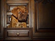Cachorrinho do cão do Bordéus - mastim francês - oito semanas Fotografia de Stock Royalty Free