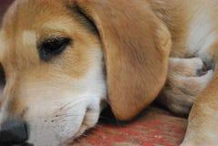 Cachorrinho do cão da caça do russo imagens de stock royalty free