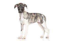 Cachorrinho do cão de corrida Foto de Stock