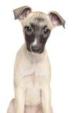 Cachorrinho do cão de corrida em um fundo branco Imagens de Stock