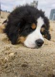 Cachorrinho do cão de montanha bernese do bebê fotografia de stock
