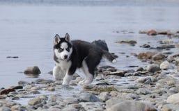 Cachorrinho do cão de puxar trenós de Sibirsky fotos de stock