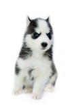 Cachorrinho do cão de puxar trenós Siberian Fotos de Stock