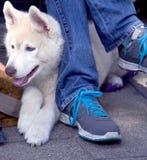 Cachorrinho do cão de puxar trenós Siberian imagens de stock royalty free