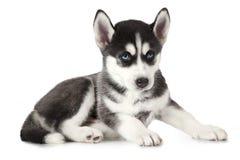 Cachorrinho do cão de puxar trenós Siberian do puro-sangue isolado no branco Imagem de Stock