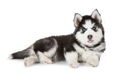 Cachorrinho do cão de puxar trenós Siberian do puro-sangue isolado no branco Imagem de Stock Royalty Free