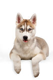 Cachorrinho do cão de puxar trenós Siberian que mostra a língua Foto de Stock Royalty Free