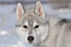 Cachorrinho do cão do cão de puxar trenós Siberian cinzento e branco no inverno que olha para trás o retrato Fotografia de Stock Royalty Free