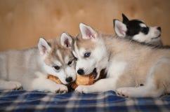Cachorrinho do cão do cão de puxar trenós Siberian preto e branco com um peluche-urso Imagem de Stock Royalty Free