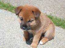Cachorrinho do cão do shiba Fotos de Stock