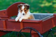 Cachorrinho do cão pastor de Shetland que senta-se no vagão de madeira vermelho Imagens de Stock