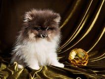 Cachorrinho do cão do Spitz de Pomeranian com a bola do ano novo no Natal ou no ano novo fotografia de stock