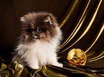 Cachorrinho do cão do Spitz de Pomeranian com a bola do ano novo no Natal ou no ano novo imagens de stock royalty free