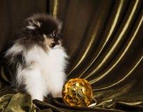 Cachorrinho do cão do Spitz de Pomeranian com a bola do ano novo no Natal ou no ano novo imagens de stock