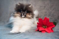Cachorrinho do cão do Spitz de Pomeranian e flor vermelha no Natal fotografia de stock