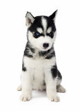 Cachorrinho do cão de puxar trenós Siberian Foto de Stock
