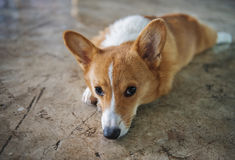 Cachorrinho do Corgi Imagem de Stock Royalty Free