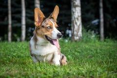 Cachorrinho do Corgi de Galês do casaco de lã que senta-se na grama Fotografia de Stock