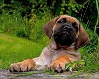 Cachorrinho do corso de Fawn Cane, 8 semanas imagens de stock royalty free