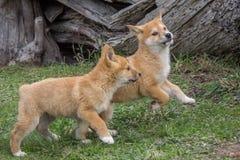 Cachorrinho do dingo do puro-sangue, Victoria, Austrália, em agosto de 2018 foto de stock