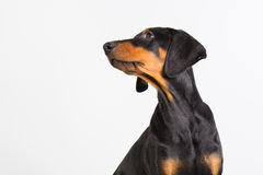 Cachorrinho do Doberman Fotos de Stock