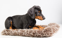 Cachorrinho do Doberman Fotografia de Stock Royalty Free