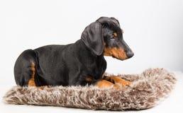 Cachorrinho do Doberman Fotografia de Stock Royalty Free