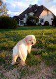 Cachorrinho do golden retriever Imagem de Stock Royalty Free