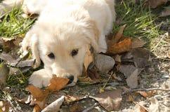 Cachorrinho do golden retriever Fotos de Stock Royalty Free