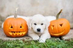 Cachorrinho do golden retriever com abóboras cinzeladas Fotos de Stock