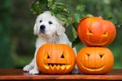 Cachorrinho do golden retriever com abóboras cinzeladas Foto de Stock