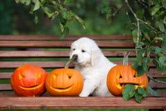 Cachorrinho do golden retriever com abóboras cinzeladas Imagens de Stock Royalty Free
