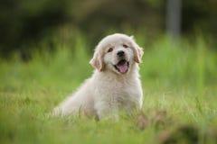 Cachorrinho do golden retriever do bebê na grama em casa fotografia de stock royalty free