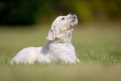 Cachorrinho do golden retriever do descascamento fotos de stock royalty free