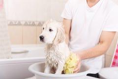Cachorrinho do golden retriever no chuveiro imagem de stock