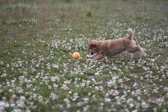 Cachorrinho do inu de Shiba 10 bonitos velhos das semanas tão Imagens de Stock Royalty Free