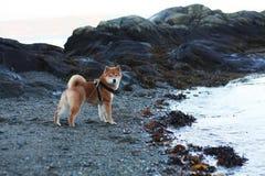 Cachorrinho do inu de Shiba na praia no outono de Noruega Foto de Stock Royalty Free