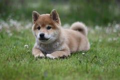 Cachorrinho do inu do shiba do campo do verão Fotografia de Stock Royalty Free