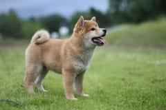 Cachorrinho do inu do shiba do campo do verão Imagem de Stock