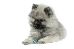 Cachorrinho do Keeshond Foto de Stock