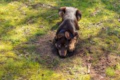 Cachorrinho do Kelpie na exploração agrícola imagem de stock