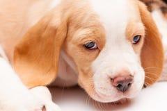 Cachorrinho do lebreiro no fundo branco fotografia de stock royalty free