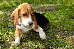 Cachorrinho do lebreiro que joga na grama verde fotos de stock royalty free