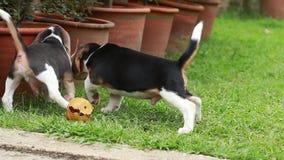 Cachorrinho do lebreiro que luta pelo brinquedo filme